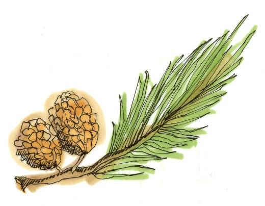 pine bough, m wood